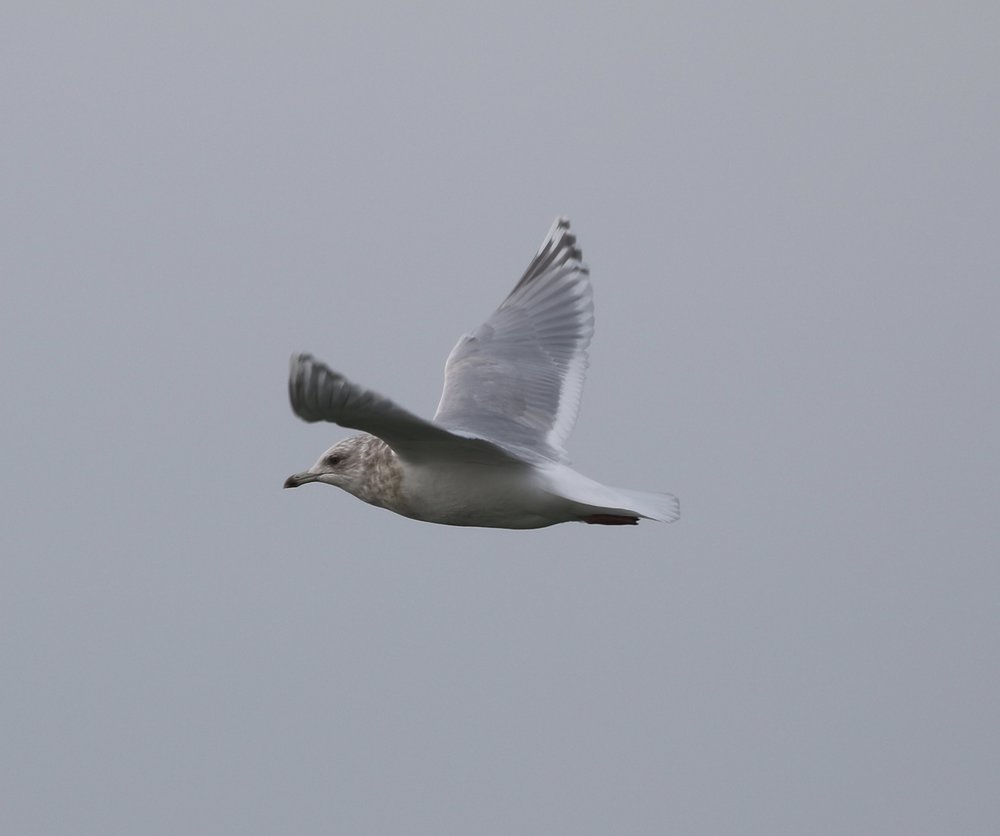 "A ""Kumlein's"" Gull, Race Point, Massachusetts, December 2016"
