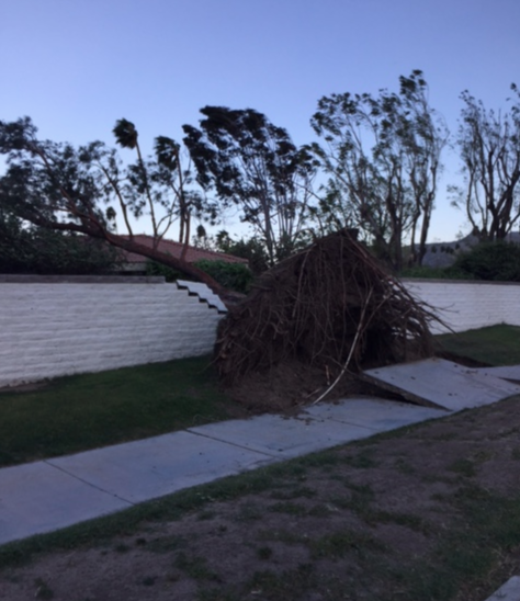 Fallen tree near Cerritos and Mesquite, in Palm Springs