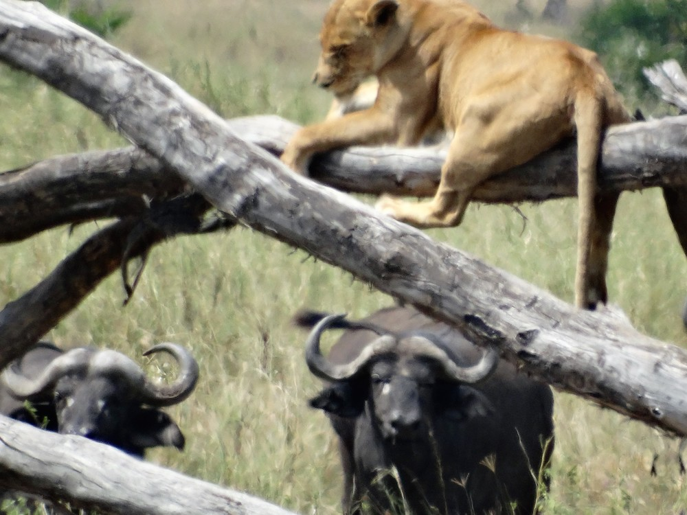Female lion got chased up the tree by a herd of angry Buffalos. I dont blame her, buffalos are scary