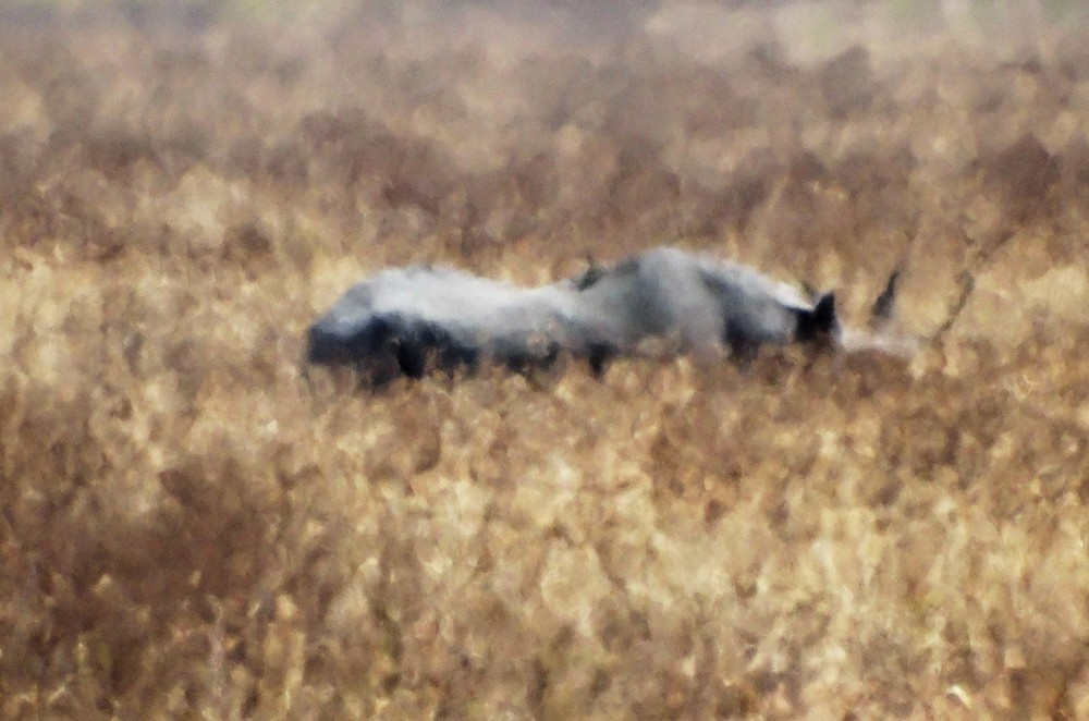 This is the only Rhino we saw the entire safari.  According to our guide, there are 7 Rhinos left inside the Ngorongoro crater.  We were lucky to see one, although it was asleep :-(