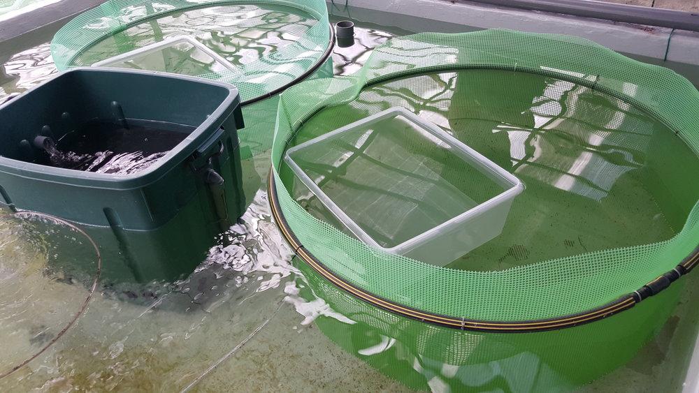 Specially designed livebearer birthing tanks