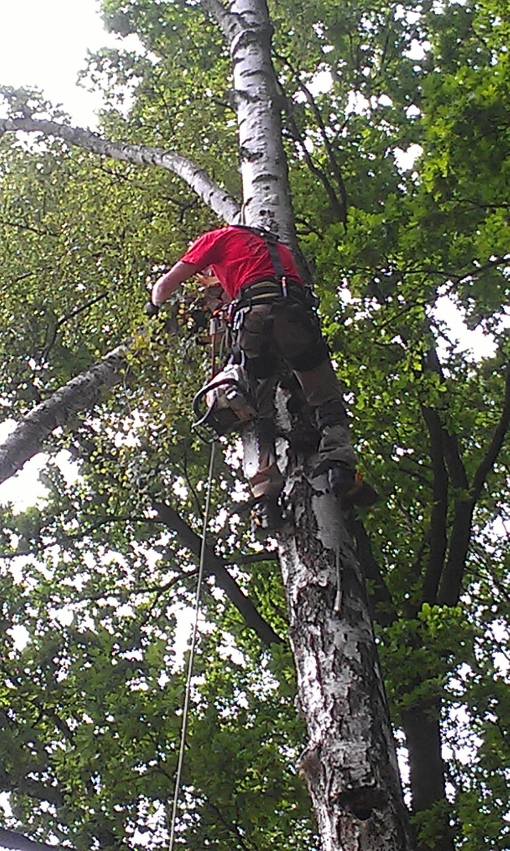 ścinanie drzewa na linach
