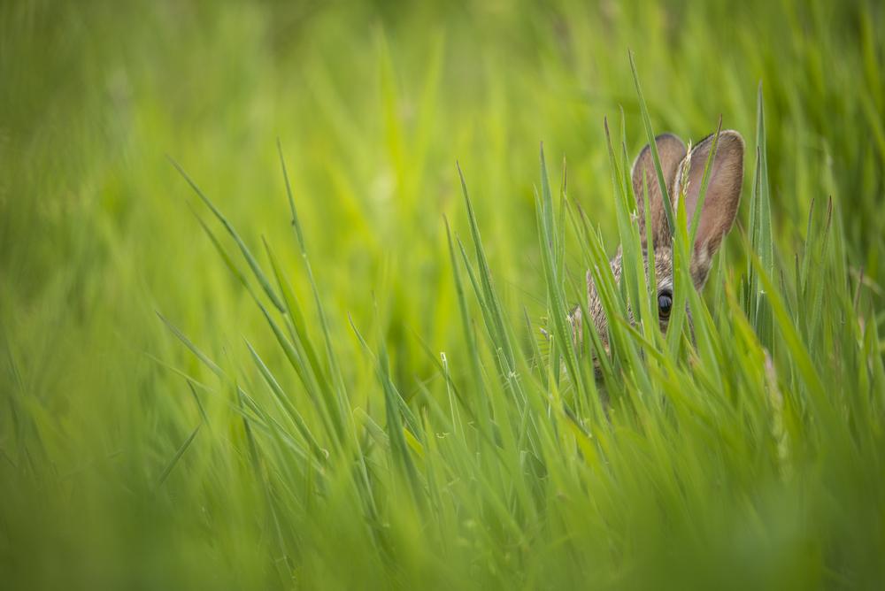 Young Rabbit Hiding