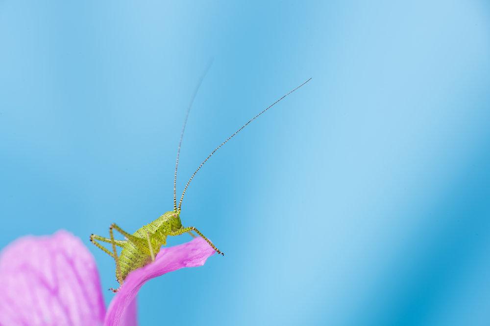 Speckled Bush Cricket2.jpg