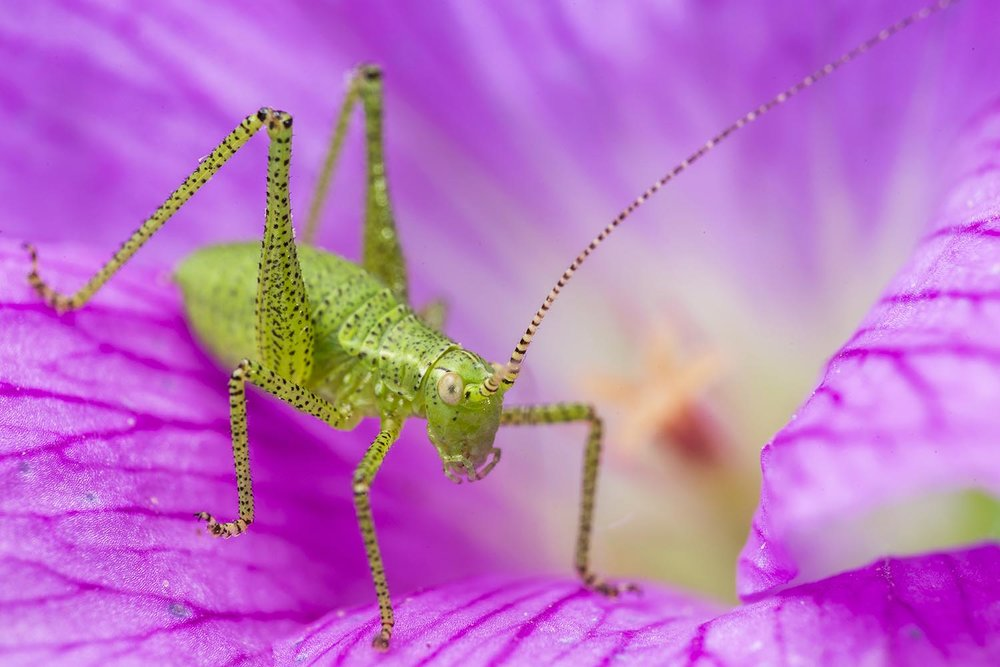 Speckled Bush Cricket.jpg