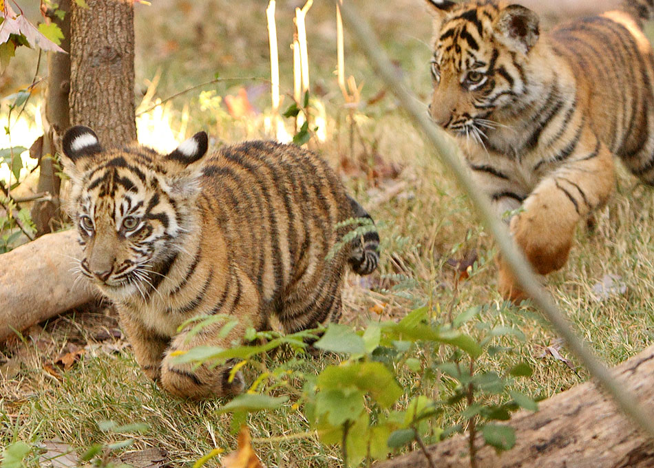 Baby Tigers playing at Zoo Atlanta | Atlanta Wedding Photojournalist