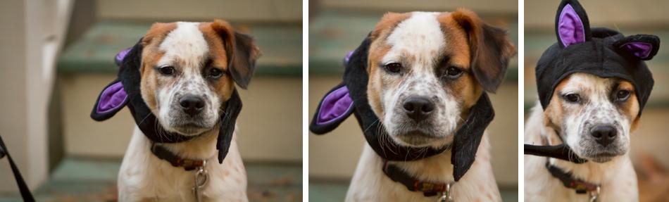 Roux in Halloween Costume Ears | Atlanta Pet Photographer