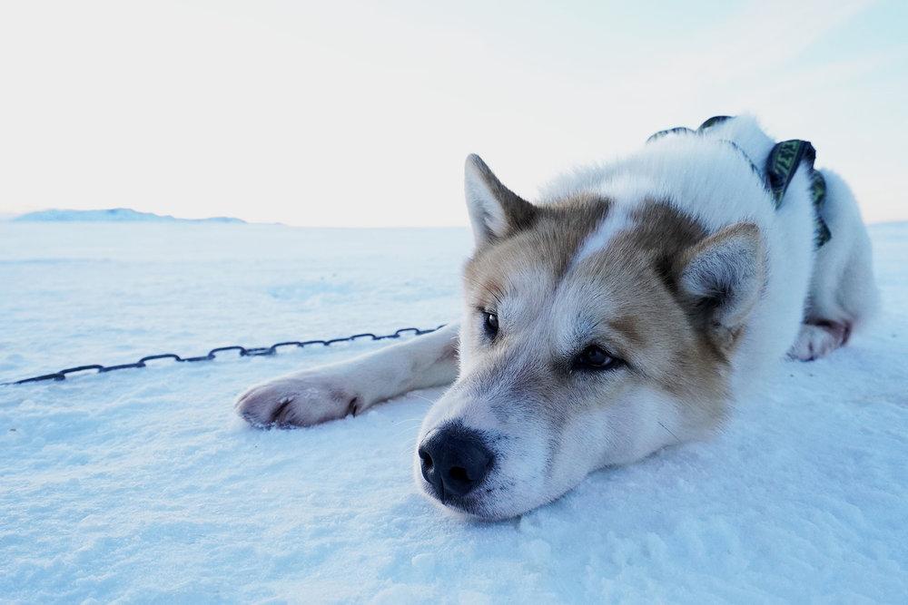 husky-iceland.jpg