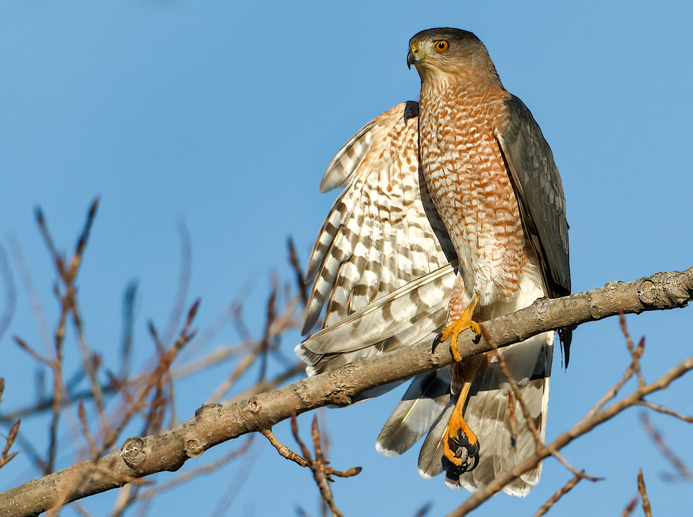 Cooper's hawks have nested on the Dwyer property.