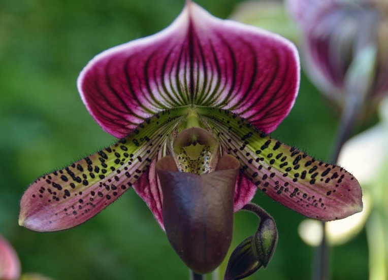 Lady Slipper orchids cover the already established nature trails.