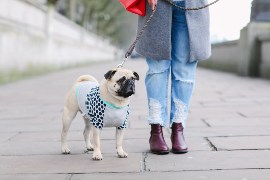 honeyidressedthepug-westminster-lamberthpier-london-uk-pug-puglife-arithepug-thames-dogfashion-stylishpups-pugswag-fashion-streetstyle-pet-dog-polkadots-headphones-chilling-fashionblogger-trendy-chic-winter-coat-starbucks-coffee-zara