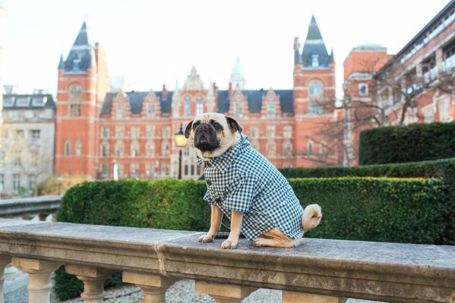 honeyidressedthepug-pug-hound-puglife-arithepug-bomber-jacket-checkered-shirt-pet-fashion-dog-streetstyle-coolpups-thuglife-squishyface-southkensington-rippedjeans-topshop-stradivarius-shopdogthreads-pugswag-bangs-highbun-pink-spring