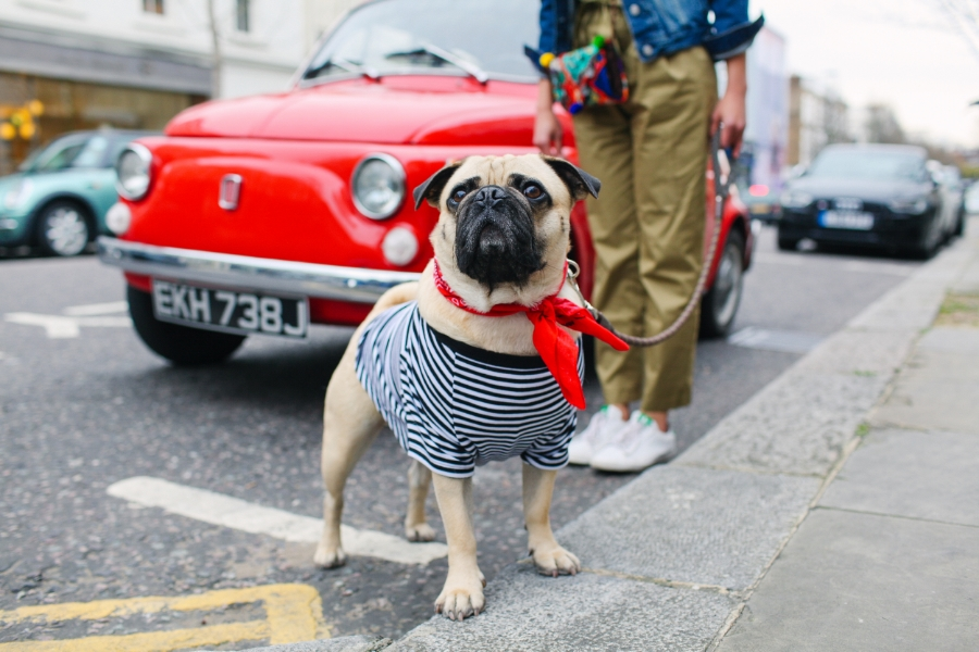 honeyidressedthepug-nottinghill-london-vintagecars-pug-puglife-pugswag-pugfashion-dog-petfashion-bandana-stripes-fawn-streetstyle-londonstreetstyle-cars-pippolli-red-redcar-redvintagecar