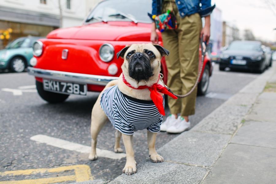 honeyidressedthepug-nottinghill-london-vintagecars-pug-puglife-pugswag-pugfashion-dog-petfashion-bandana-stripes-fawn-streetstyle-londonstreetstyle-cars-pippolli-red-redcar-redvintagecar
