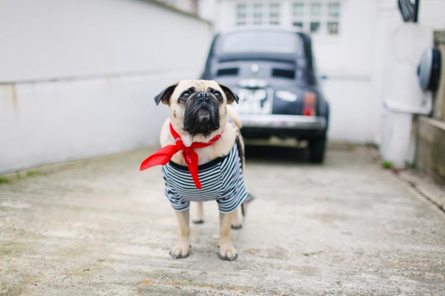 honeyidressedthepug-nottinghill-london-vintagecars-pug-puglife-pugswag-pugfashion-dog-petfashion-bandana-stripes-fawn-streetstyle-londonstreetstyle-cars-pippolli