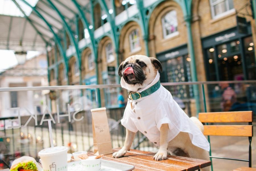 dogfashionblog-petfashionblog-london-humanandhound-dogfriendly-london-shakeshack-dogsallowed-coventgarden-pug-pugswag-bestdressedpug-honeyidressedthepug-whiteshirt-pbeeandjoanne-barcelonadogs-dogfriendlyrestaurant-dogfashion-dogstyle-lifestyle-petfashionblogger-londonblogger-petblog-ari