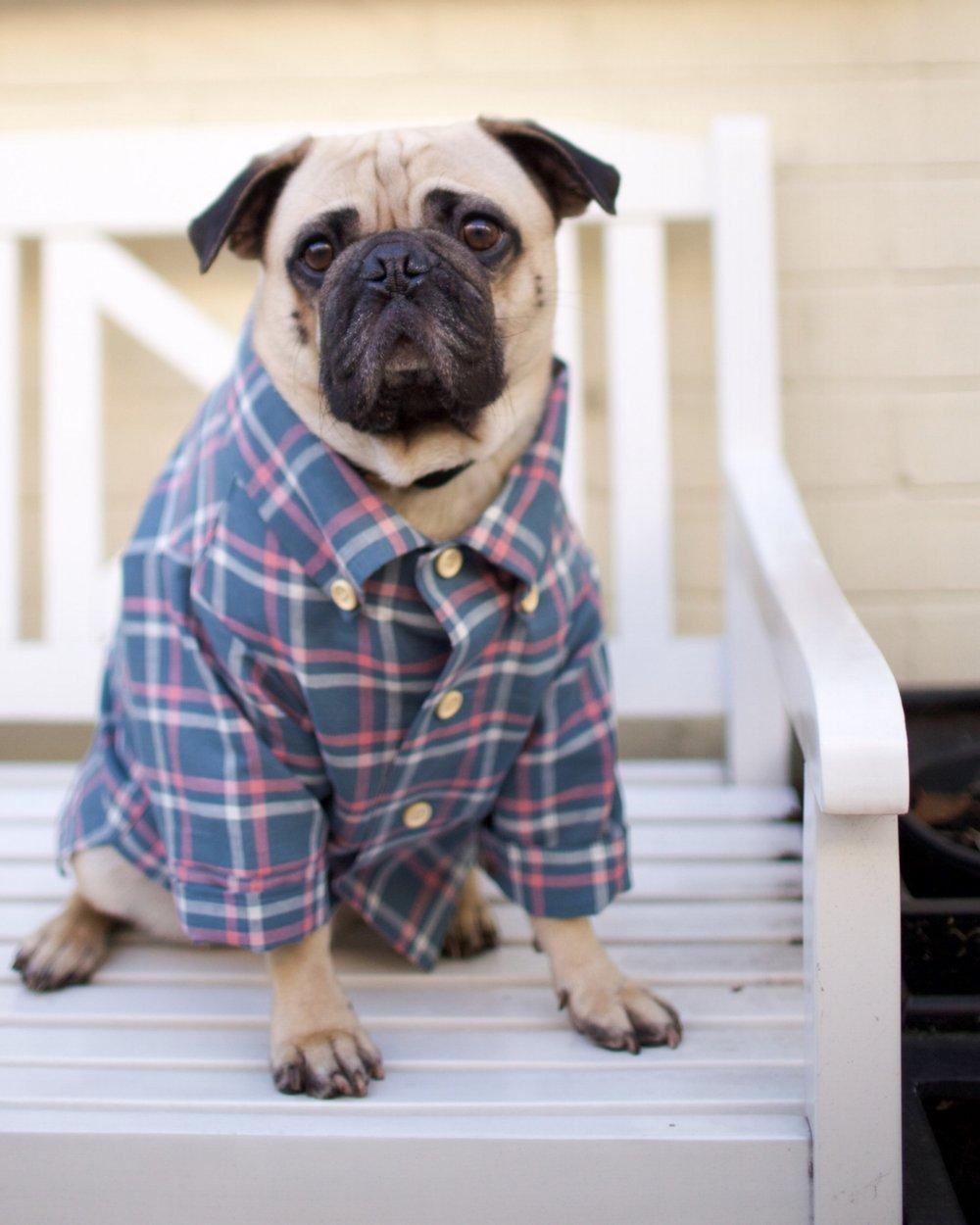 bestdogbloglondon-topdogbloglondon-bestdogblogever-petfashionblog-dogfashionblog-puglife-funnypug-pugsinclothes-fashionblog-london-shirtsfordogs-lele-shopdogthreads-humanandhound-twinning-dogfriendly-springtrends-dapperdogs-puppyinclothes-ukblogger