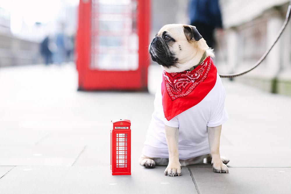 london-redtelephonebooth-red-honeyidressedthepug-dogfashionblog-petfashionblog-dogblog-london-uk-dogsinclothes-humanandhound-humanandhoundfashion-puglife-londonpug-bestdogblog-topdogblog-stylishdogs-instafamousdogs 5.jpg