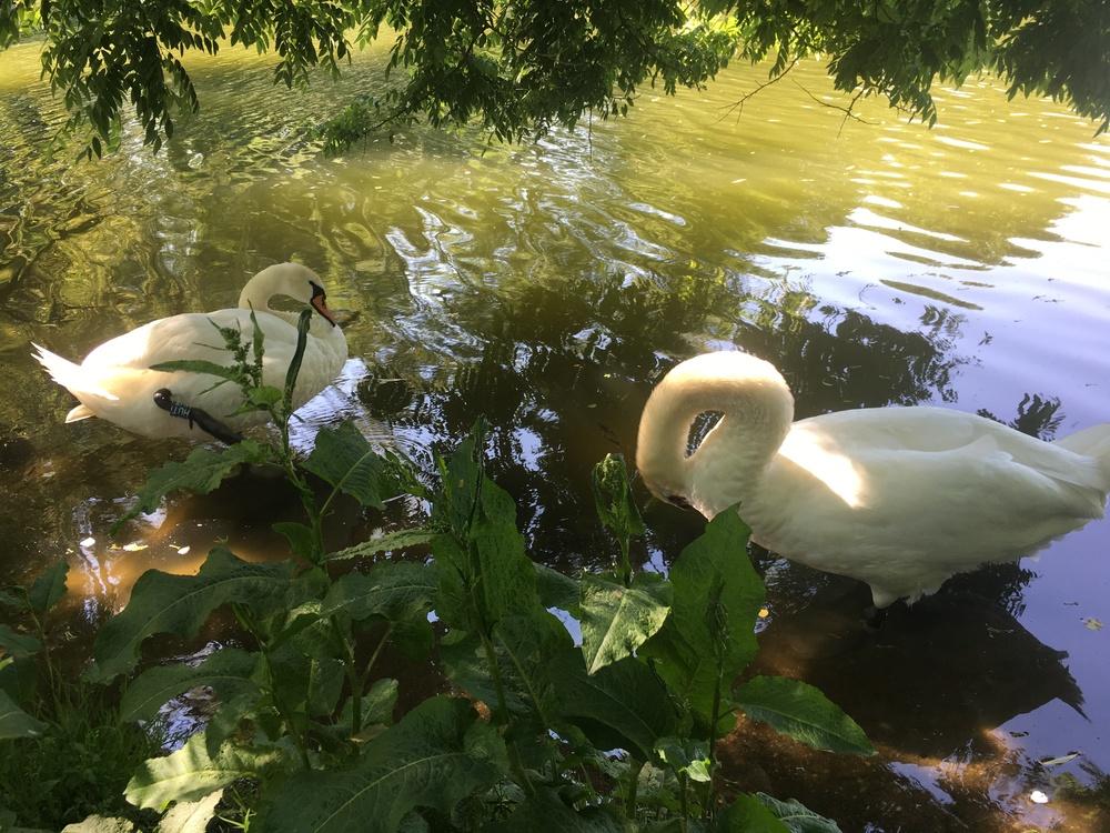 Set of swans in city park copenhagen