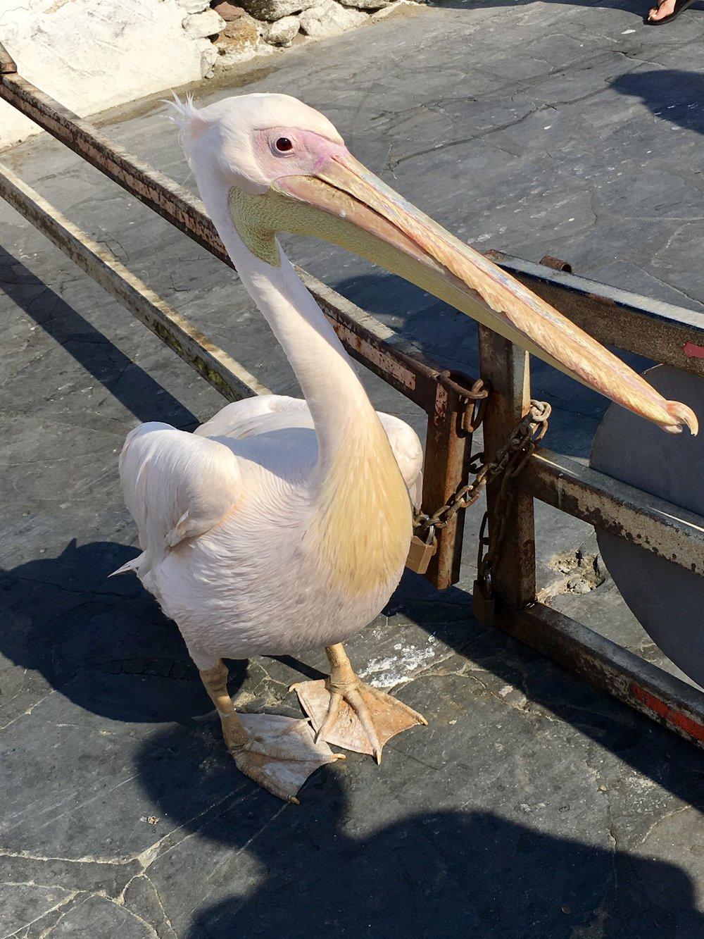 Petros the pelican