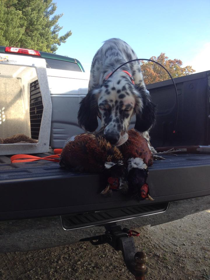 Alex's Otto (English Setter) and his first pheasants