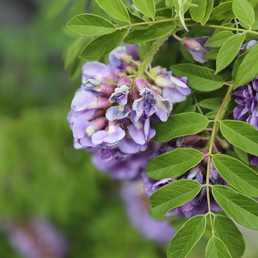 hilaryhorvathflowers_portlandflorist_wisteria_alderandco