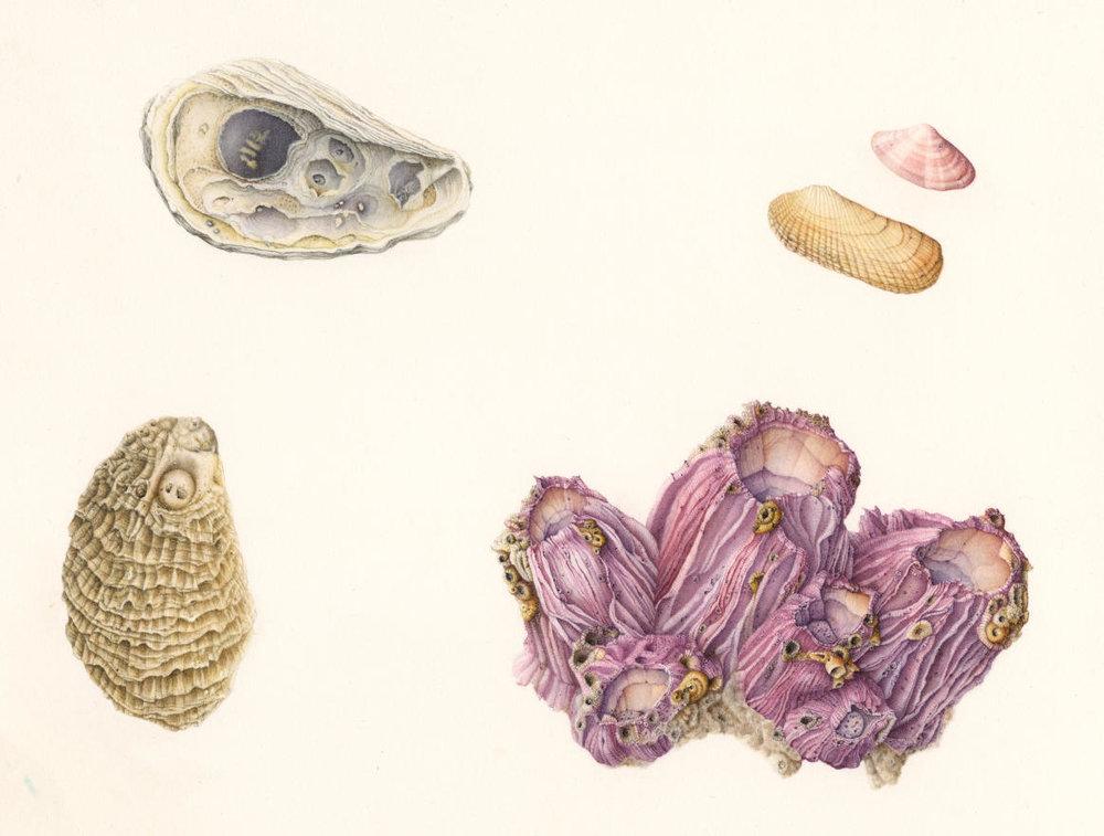 Seashells_1800.jpg