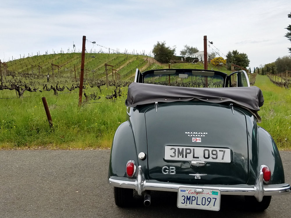 Racing green 1950's Morris Minor 1000 convertible, among the vineyards.