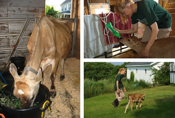 Left: Crystal when she arrived at Maple Farm Sanctuary, Top right: Maple Farm Sanctuary co-founder Cheri Ezell Vandersluis bottle feeding Habibi, Bottom rIght: Cheri and Habibi