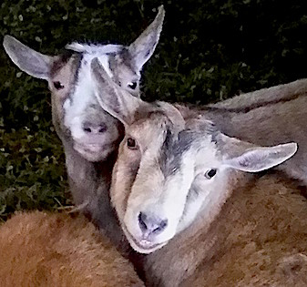 Photograph courtesy of Maple Farm Sanctuary
