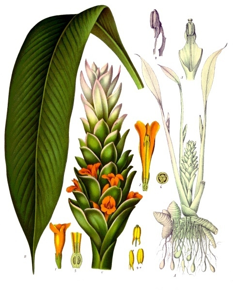 Tumeric  ~ Curcuma longa