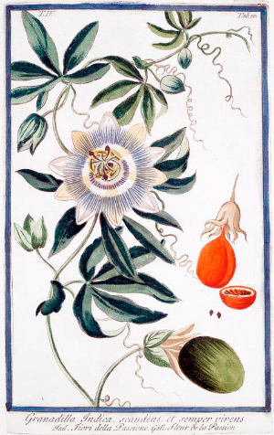 Passion Fruit ~  Passiflora edulis