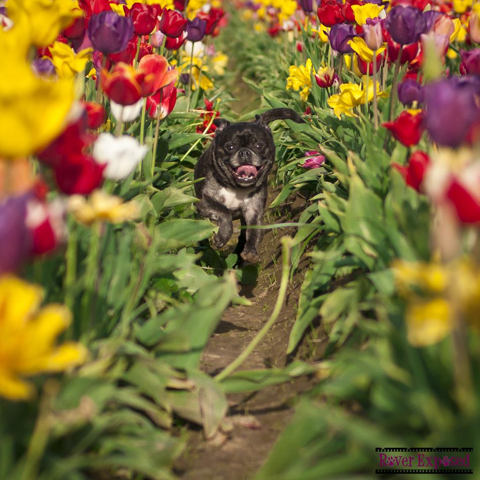 Gromit-tulips.jpg