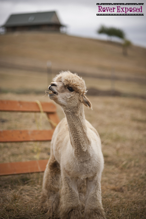 the-alpacas-cometh.jpg