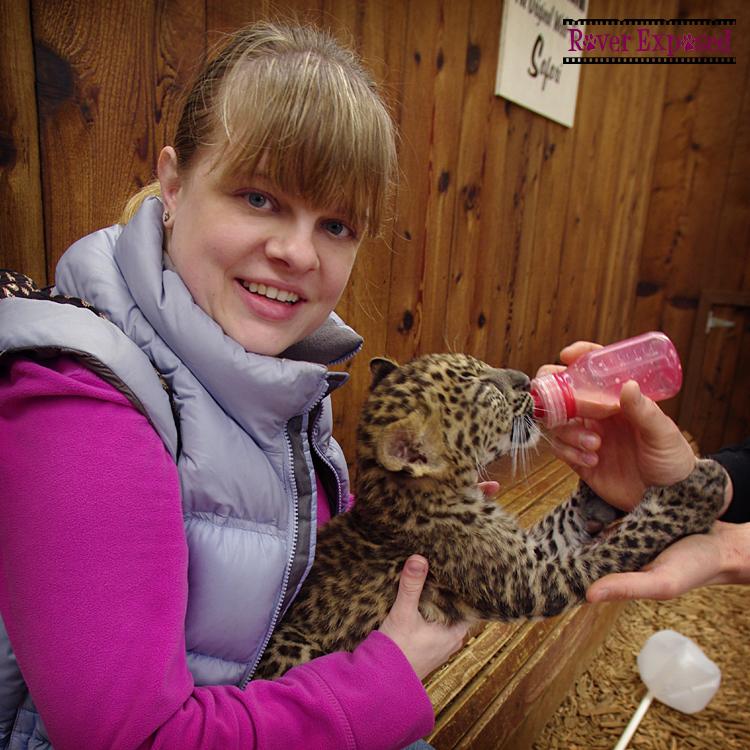 snuggling a leopard