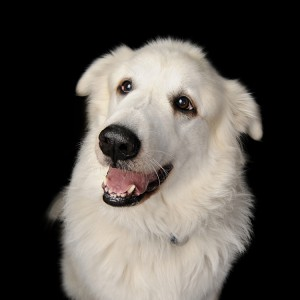 Thor, the Happy Great Pyrenees