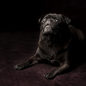 Otto - the handsomest black pug I know!