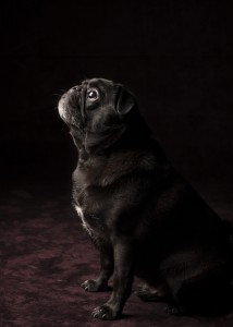 The dignified pug.