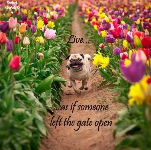 pug tulips meme photo by Jenna Van Valen