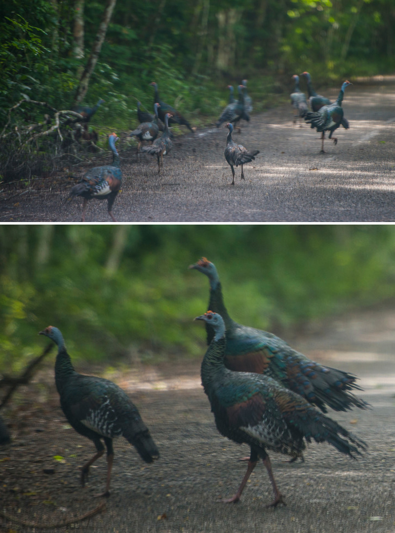 the terceros - super pretty as far as wild turkeys go!