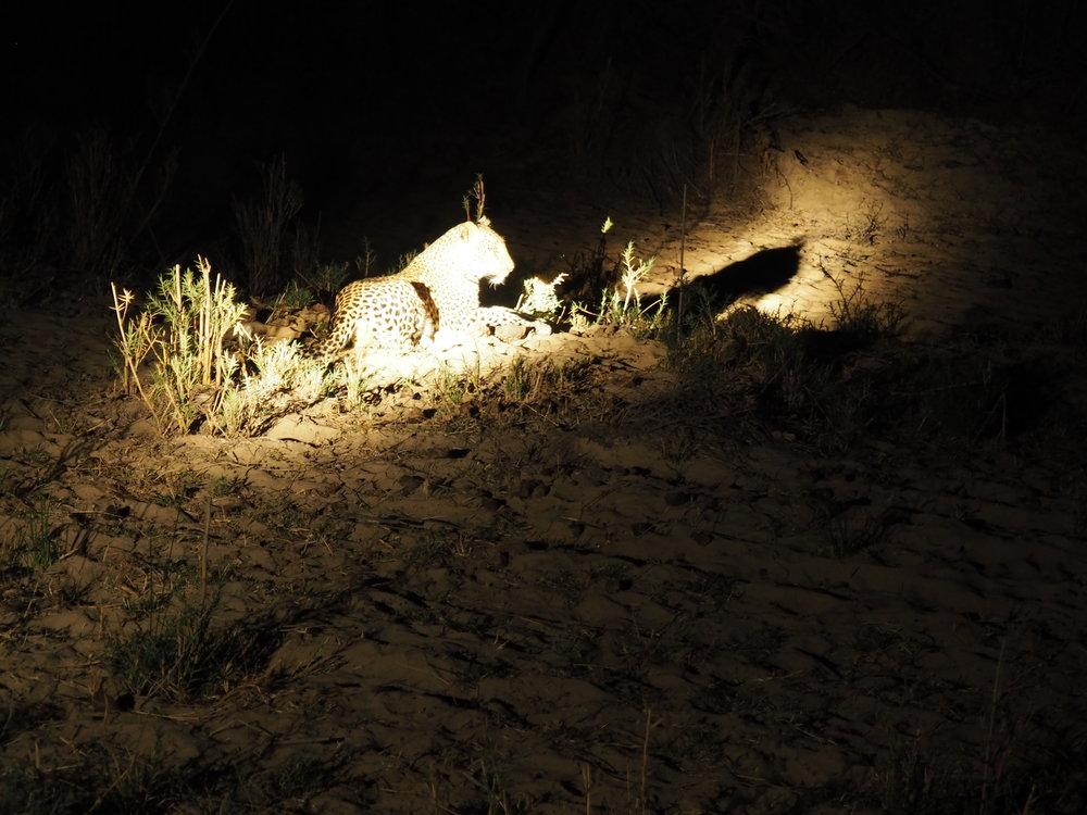 Sitting leopard.JPG