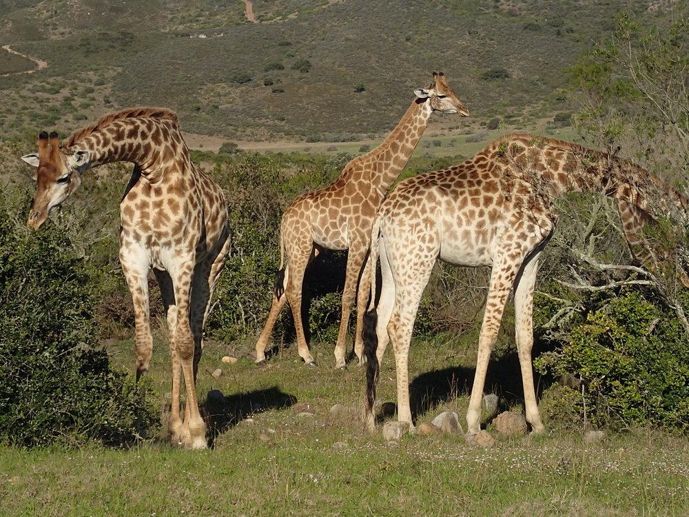 Safari giraffe.JPG