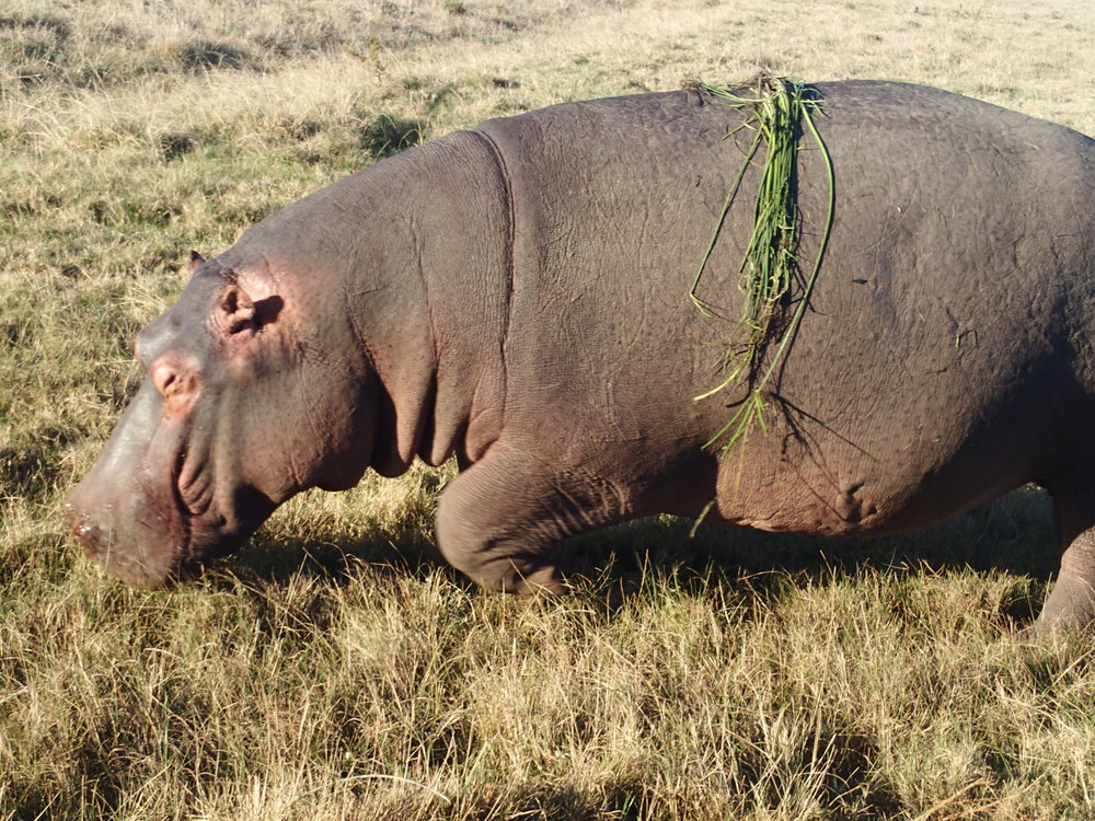 Safari hippo.JPG
