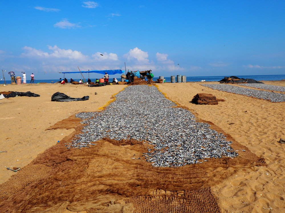 negombo fish market - drying fish.JPG