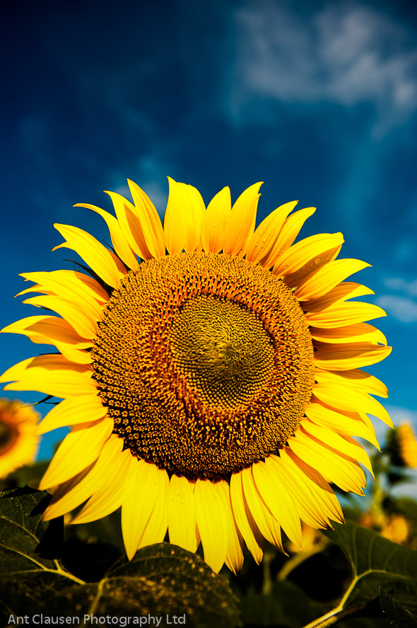 gira sole, photo of yellow sunflower in le marque italy