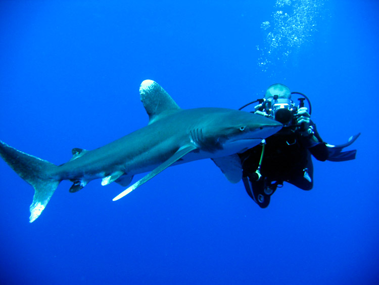 Oceanic white tip reef sharks photos - scuba diving in the red sea egypt
