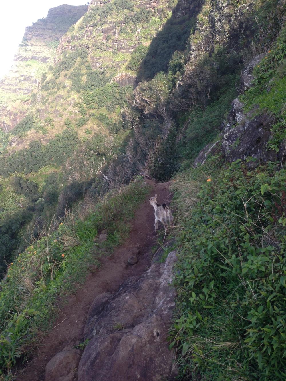 Trail goats!