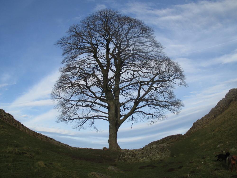 Robin Hood Tree
