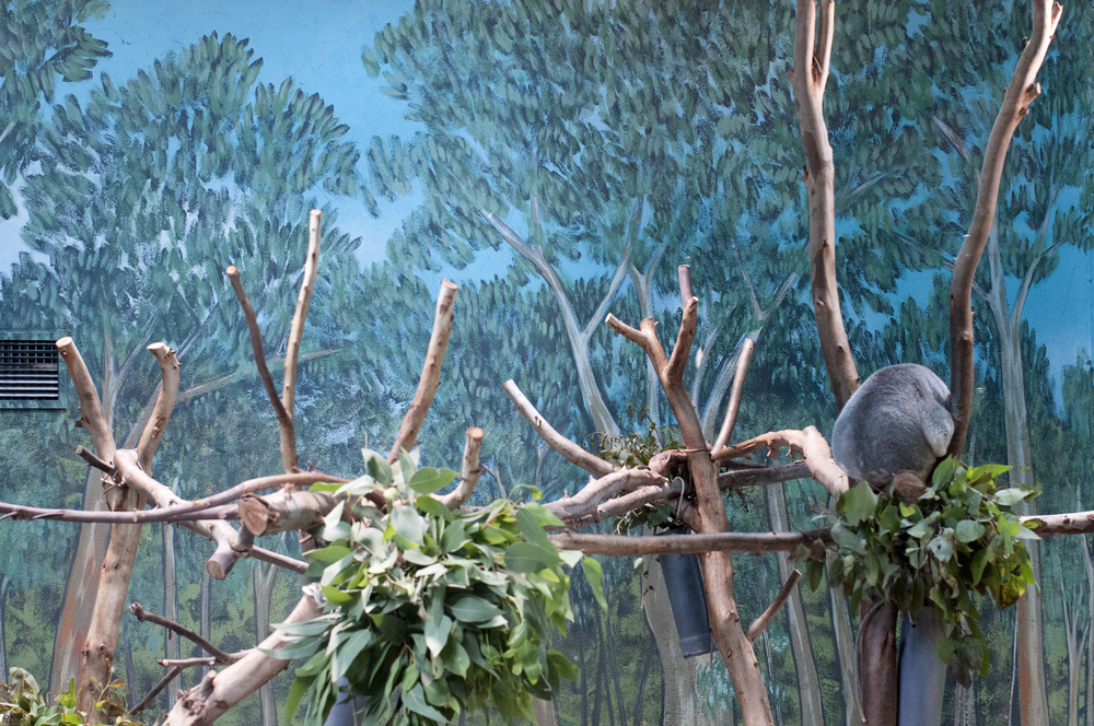 it-zoological-koala2.jpg