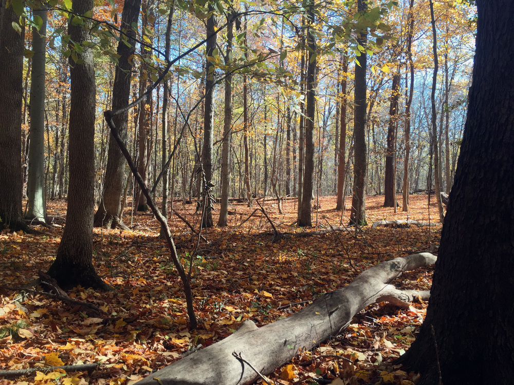 Eidson Woods - Beech_Maple.jpg